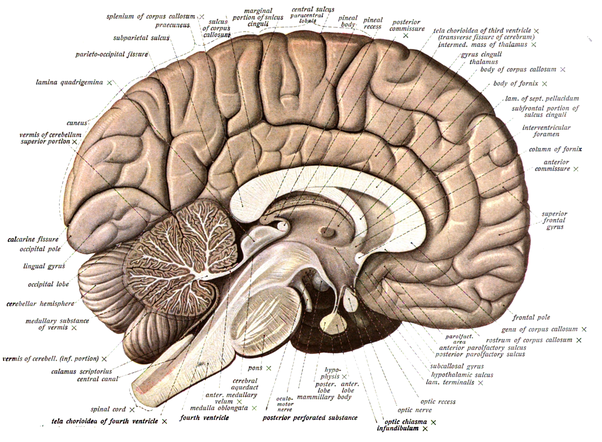 What if any is the difference between the cerebellum and the brain from cerebellum that pale diagonal area from the bottom left to the middle is the spinal cord and brain stem the somewhat darker stuff above it and to ccuart Choice Image