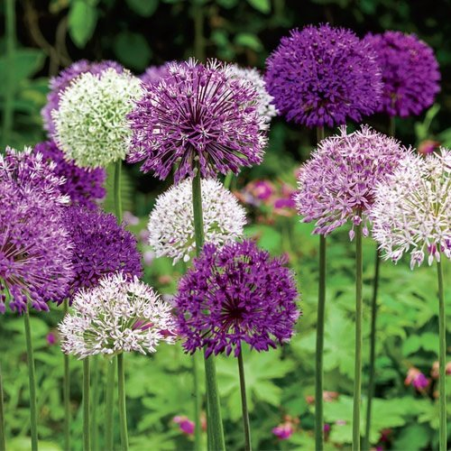 What flowers are either pale purple or white on a long single stalk this is an allium a family of plants related to the onion mightylinksfo