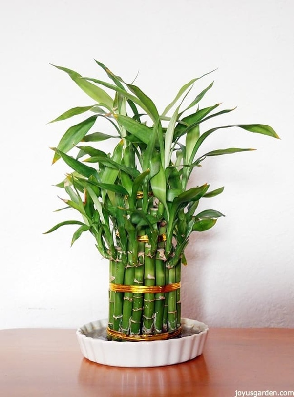 Tips To Grow Lucky Bamboo Plant