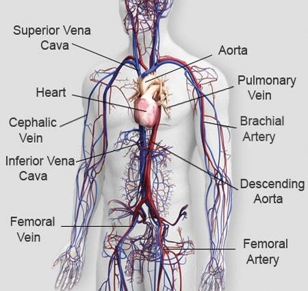 different veins in the body