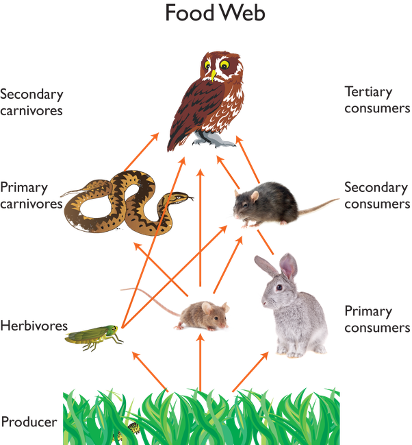 a food web on the other hand also known as food cycle is a interconnection of multiple food chains and shows what eats what in a specific ecological