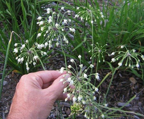 What are these small white star like flowers with very thin petals allium cernum mightylinksfo