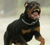 What are some of the most dangerous dog breeds quora for Rottweiler dangerous dog
