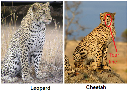 Cheetahs Have Solid Black Spots, Whereas Leopards Have Rosette Shaped Spots  And So Do Jaguars, Only Their Rosettes Are Larger And Have Small Spots  Inside ...