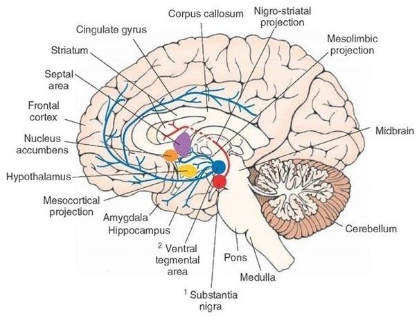 Where are all the dopamine releasing neurons in the brain quora sources bear et al neuroscience 3rd edition dopaminergic pathways netter medical images neurotransmitters the neuron part 3 ccuart Choice Image
