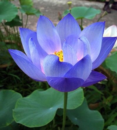 "The Indian sacred Lotus or Bean of India (Nelumbo nucifera) is the Official ""National flower of Republic of India"" respectively."