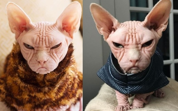 Do hairless cats know they are hairless? - Quora