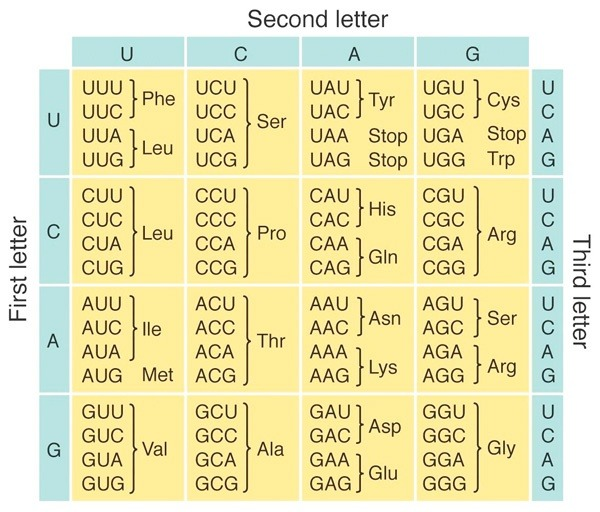 How can amino acid sequence be determined from DNA? - Quora