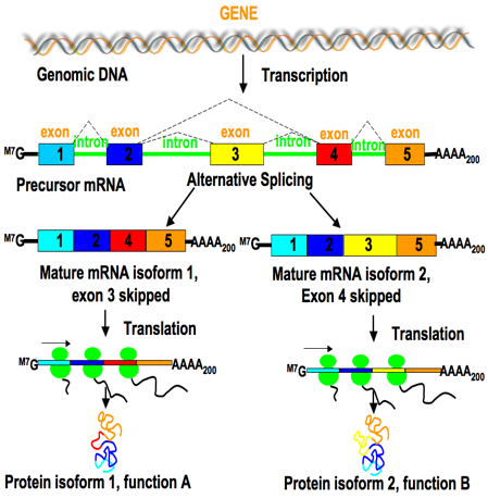 Are exons ever spliced quora it occurs by rearranging the pattern of intron and exon elements that are joined by splicing to alter the mrna coding sequence ccuart Images