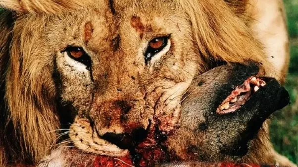 """lion attack A video of a lion attacking two hunters standing over a dead king of the jungle has many questioning its authenticity you can tell it's cgi due to the crappy shadows, one internet sleuth said another said: """"when the woman gets behind the lion, the contrast between them is off, as if it's on a."""