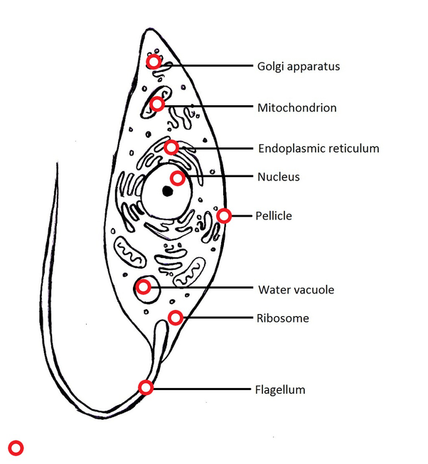 What is the cell structure of a typical protist? - Quora