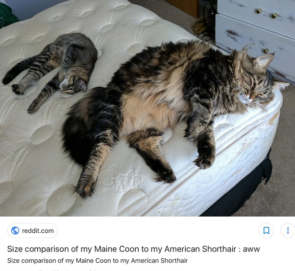 My 6 months Maine Coon male kitten weighs 5.4 kg, is this ...