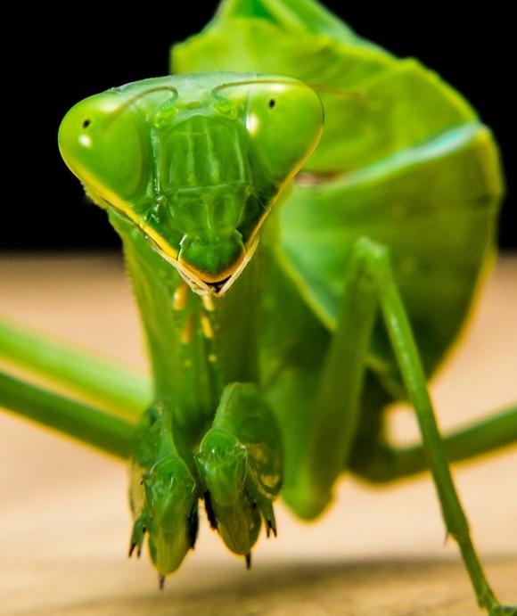 praying mantis bite head off