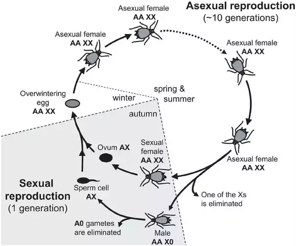Water fleas asexual reproduction examples