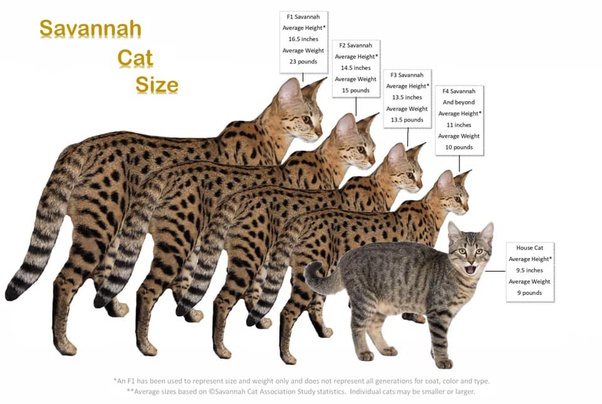 What Is An F1 Savannah Cat And Do They Make Good Pets Quora
