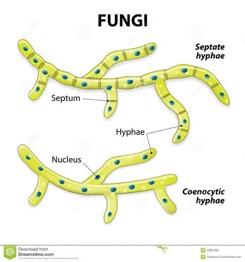 What Is The Anatomy Of Fungi Cells