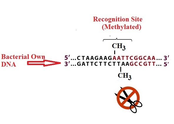 how to detect dna methylation bacteria