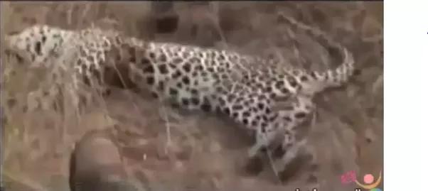 The Man Eating Leopard Of Rudraprayag