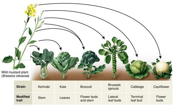 In Plants What Are Examples Of Artificial Selection Quora