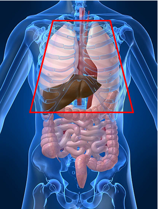 graphic of organs with a red box over vital organs