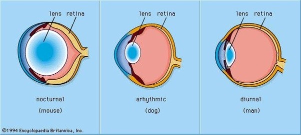 How Many Layers Of A Dogs Eye