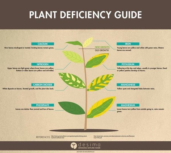 Why are the leaves of your ficus tree turning yellow quora is a nutrient deficiency there are charts available online that show which nutrient deficiency is manifest by the way the leaves on your plant yellows mightylinksfo