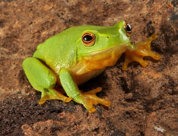 What is the frog's scientific name? - Quora