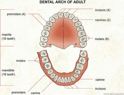 Dental Diagram