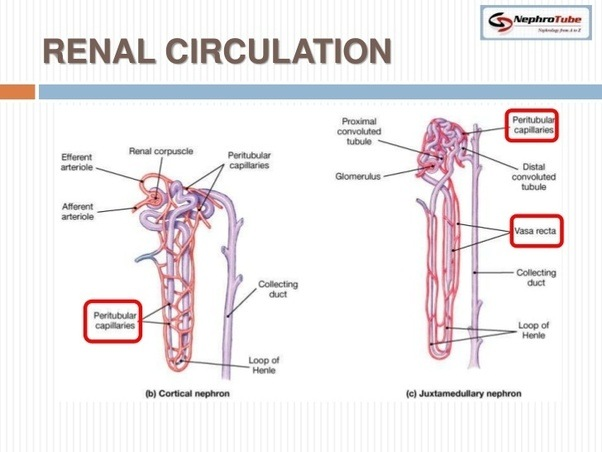 What Is The The Path Of Blood Flow Through The Kidney
