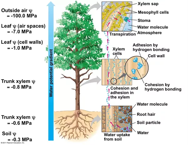 Do Trees Transpire Water And How