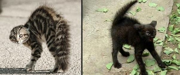 Why Cats Tails Puff Up