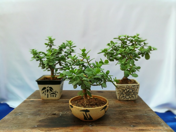 Where Can I Buy Bonsai Plants And Pots In Hyderabad Quora