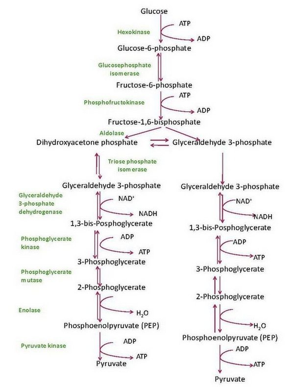 glycolysis enzymes steps pathway reactions located chemical cytosol place