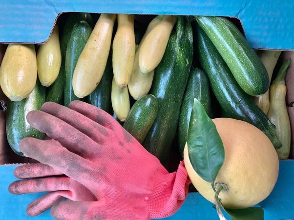 zucchini toxin