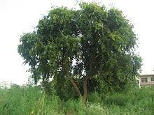 What Is The Shisham Tree Dalbergia Sissoo In Bengali Quora
