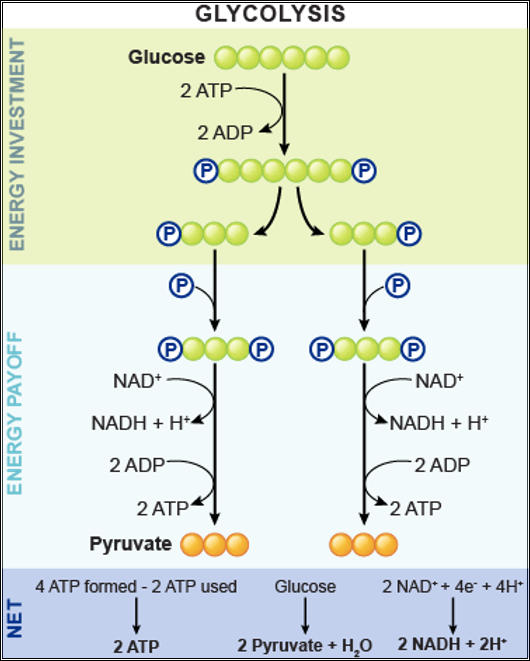 How do we get 4 atp molecules in glycolysis quora glycolysis glucose to pyruvate overview diagram lifted from pinterest page chapter 26 nutrition metabolism ccuart Image collections
