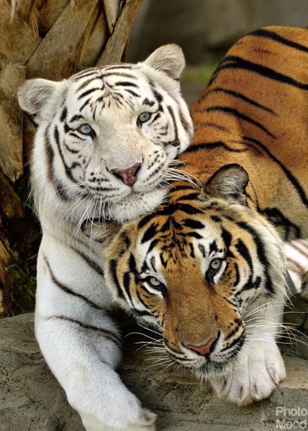 What Animals Are The Enemies Of The White Tiger Quora