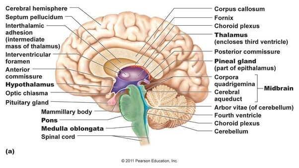 What is the position of the pineal gland to the mid-brain? - Quora