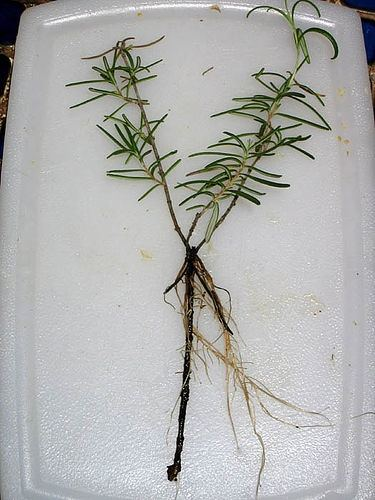 how to get a cutting from a weed plant