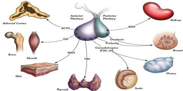 Which endocrine gland prodices the most hormones? - Quora