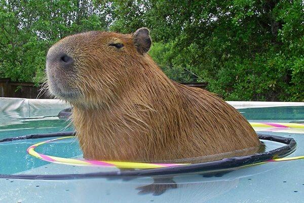 Does a capybara make a good pet? - Quora