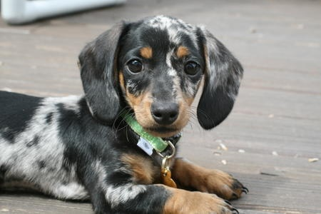 What Does A Dapple Dachshund Look Like Quora