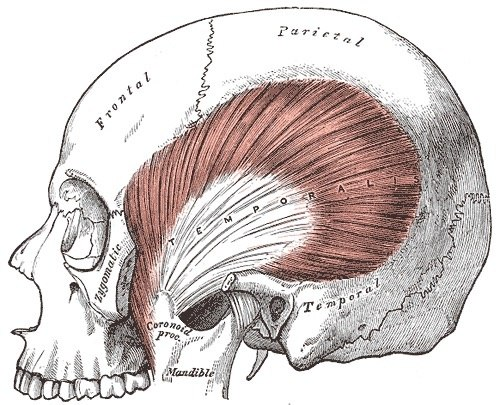 What If All Our Muscles Were The Strength Of Our Jaw Muscle Quora