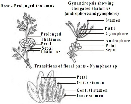 Flower diagram shoots residential electrical symbols what is a flower modified leaf or modified stem quora rh quora com simple flower diagram ccuart Images