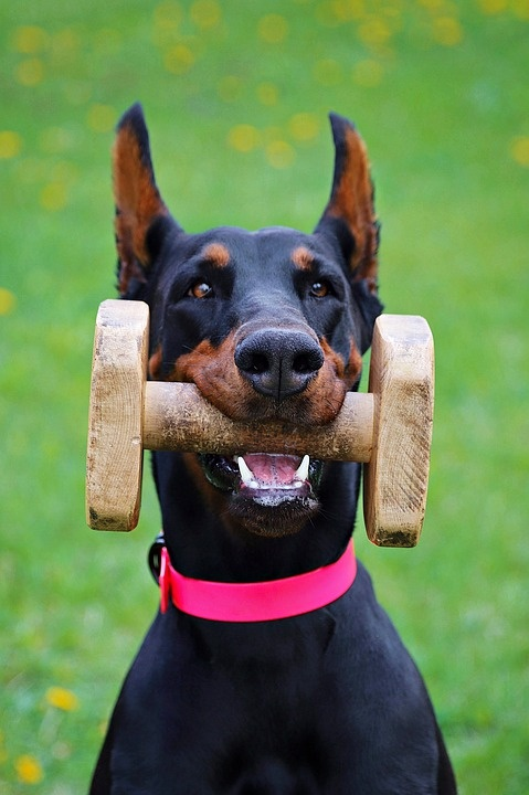 What is the price of a Doberman dog in India? - Quora