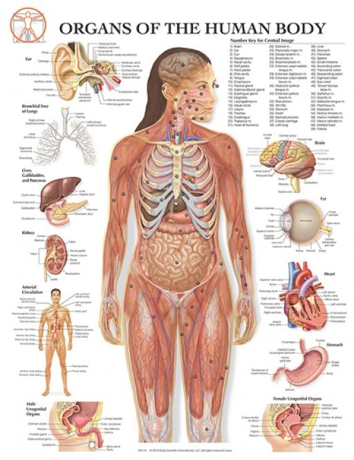 Why Is There Not One Organ System That Is Essential To The Human Body