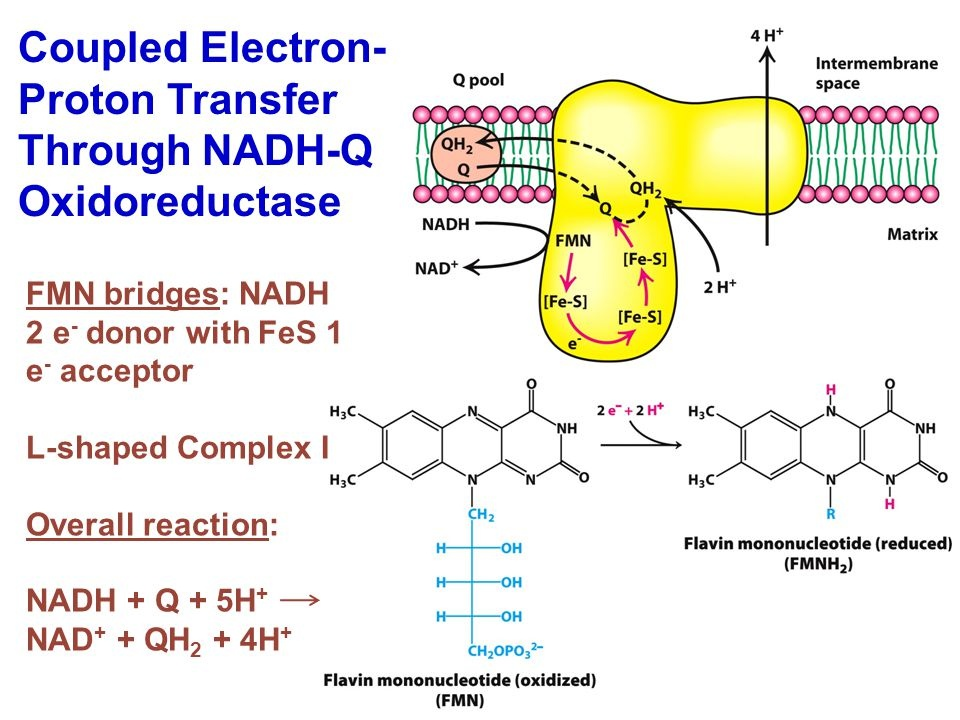 complex i: nadh:ubiquinone oxidoreductase diagram clipped from slide #7 of  presentation electron transport chain/respiratory chain (published by  richard