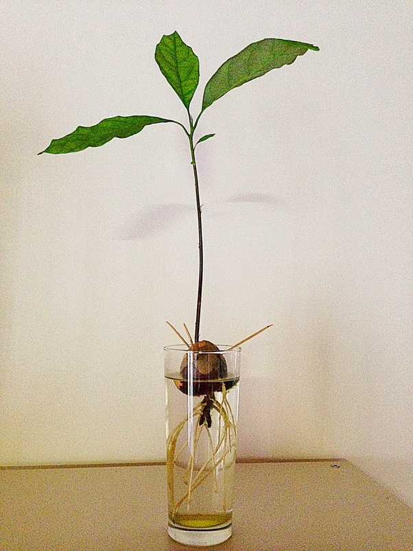 How To Plant An Avocado Tree In India Quora