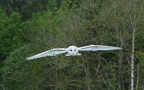 What Does It Mean To See 2 White Owls Together In The Evening Quora