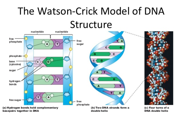 What is the full form of dna quora the molecules of sugar and phosphate alternate with each other to form outside boundaries of dna while the base pairs link the two sides together malvernweather Choice Image